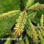 Picea abies Gold drift 2