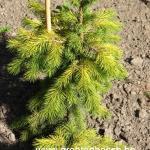 Picea smithiana Sunray