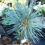 Pinus Flexilis Cessarini blue