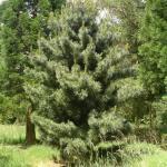 Pinus koraiensis Silverray 1