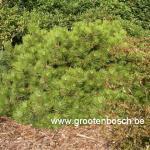 pinus nigra buda