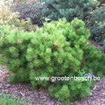 pinus nigra Hornibrookiana
