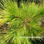 Pinus strobus Louis 2