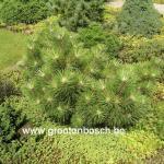 Pinus thunbergii Koyosho