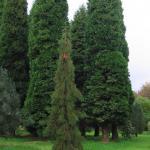 Sequiadendron giganteum Barabits requiem 1