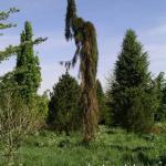 Sequiadendron giganteum Pendulum