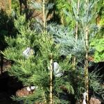Sequoiadendron giganteum Pierie