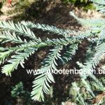 Sequioa sempervirens Henderson blue