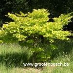 Acer shirasawanum Aureum 2