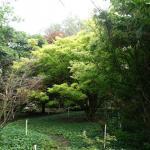 Acer shirasawanum Aureum 3