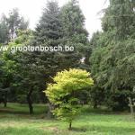 Acer shirasawanum Aureum 4