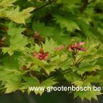 Acer shirasawanum Aureum 5