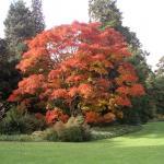 Acer shirasawanum Palmatifolium 1