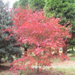 Acer japonicum Aconitifolium 1