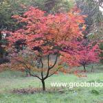 Acer japonicum Aconitifolium 3