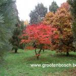 Acer japonicum Aconitifolium 4