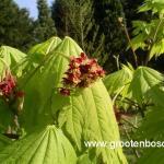 Acer japonicum Aconitifolium 5