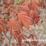 Acer palmatum Ariadne 1
