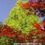 Acer palmatum Beni kagami 1