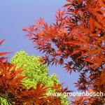 Acer palmatum Beni kagami 10