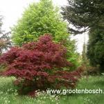 Acer palmatum Beni kagami 2