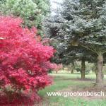 Acer palmatum Beni kagami 7