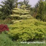 Acer palmatum dissectum 2