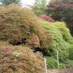 Acer palmatum dissectums