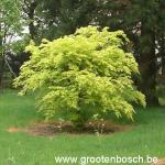 Acer palmatum Orange Dream 1