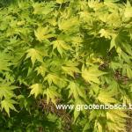 Acer palmatum Orange Dream 2