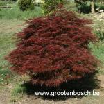 Acer palmatum Ornatum 1