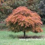 Acer palmatum Ornatum 2
