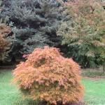Acer palmatum Ornatum 3