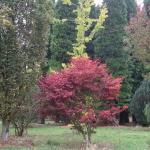 Acer palmatum Osakazuki 3