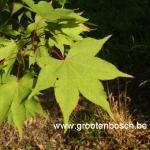 Acer palmatum Osakazuki 5