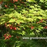 Acer palmatum Osakazuki 6
