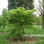 Acer palmatum Seiryu 1