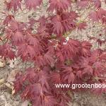 Acer palmatum Ume ga e 1