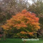 Acer shirasawanum tenuifolium 1
