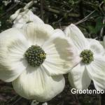 Cornus Eddies white wonder 2