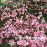 Cornus florida Rubra 1