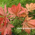 Acer palmatum Nathan