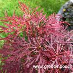 Acer palmatum Rilas red