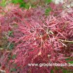 Acer palmatum Rilas red 2