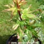 Acer palmatum Ryuzu