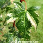 Acer palmatum Ryuzu 2