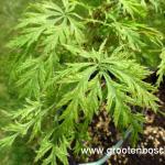 Acer palmatum Suisei