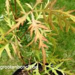 Acer palmatum Sunset 2