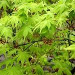 Acer palmatum Ki-Hachijo