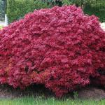Acer palmatum Shaina 2